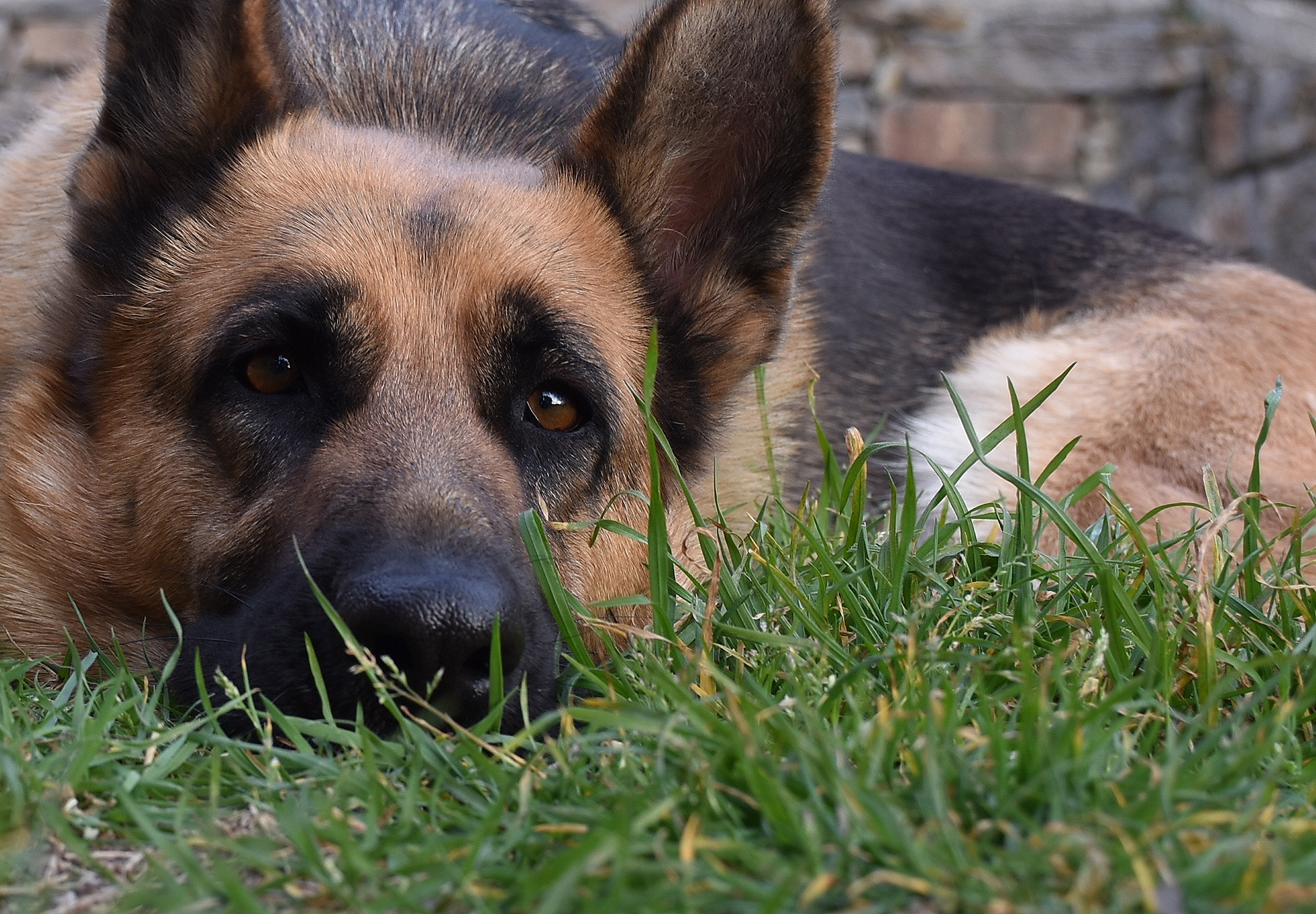 Donate for German Shepherd dogs