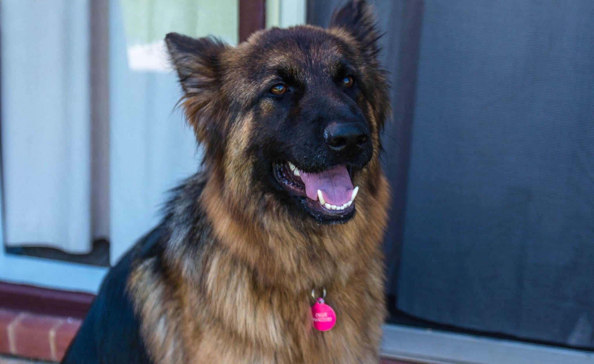 German Shepherd Dog Rescue South Australia